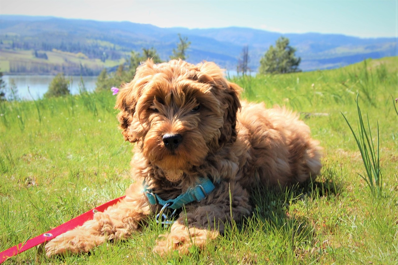 labradoodle gold